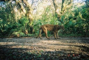 Florida panther crossing (Fla. FWCC press photo)