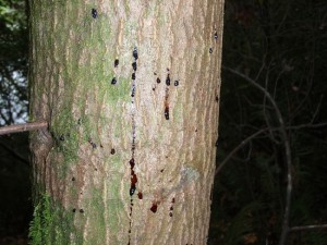 Cankers causing a tanoak tree to bleed.  Courtesy: ucanr.edu