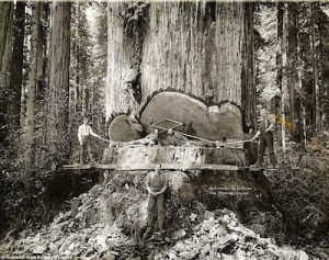 (photo courtesy of the Humboldt State University Library) Loggers pose for a photo in the middle of cutting down a sequoia tree in 1912