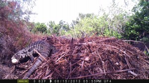 Tegu leaving nest with egg