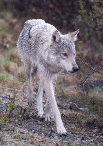 Biologists have been studying wolves in Denali since the 1930s (Photo courtesy of National Park Service).